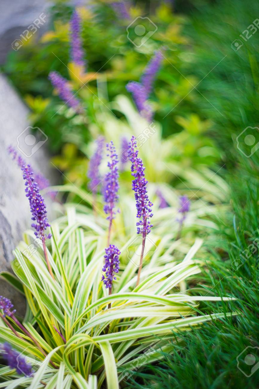 Liriope Muscari Flowers In A City Garden In Summertime Stock Photo