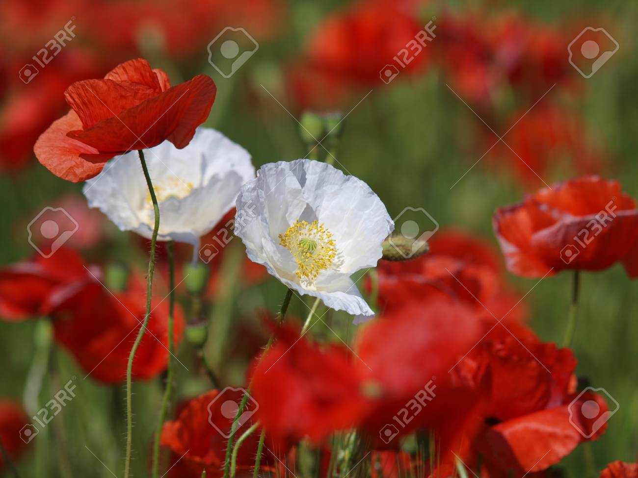 Two White Poppy Flowers Between Red Poppies On A Meadow Wild