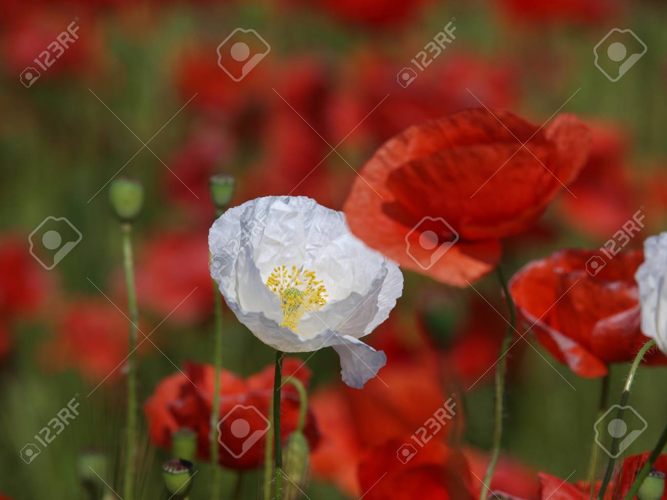 Poppy flower closeup we can observe two white poppy flowers stock poppy flower closeup we can observe two white poppy flowers surrounded by red ones mightylinksfo