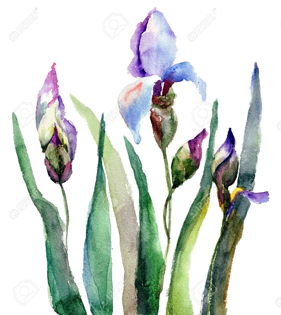 iris flower images  stock pictures. royalty free iris flower, Beautiful flower