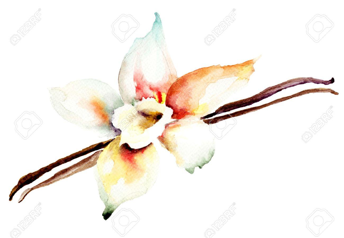 les gousses de vanille et de fleurs, illustration aquarelle banque
