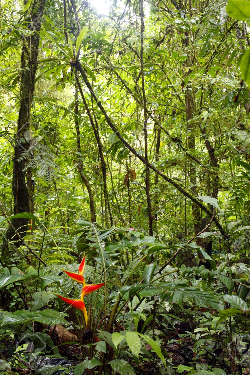 Heliconia plant flowering in the Amazon rainforest Stock Photo - 4697664
