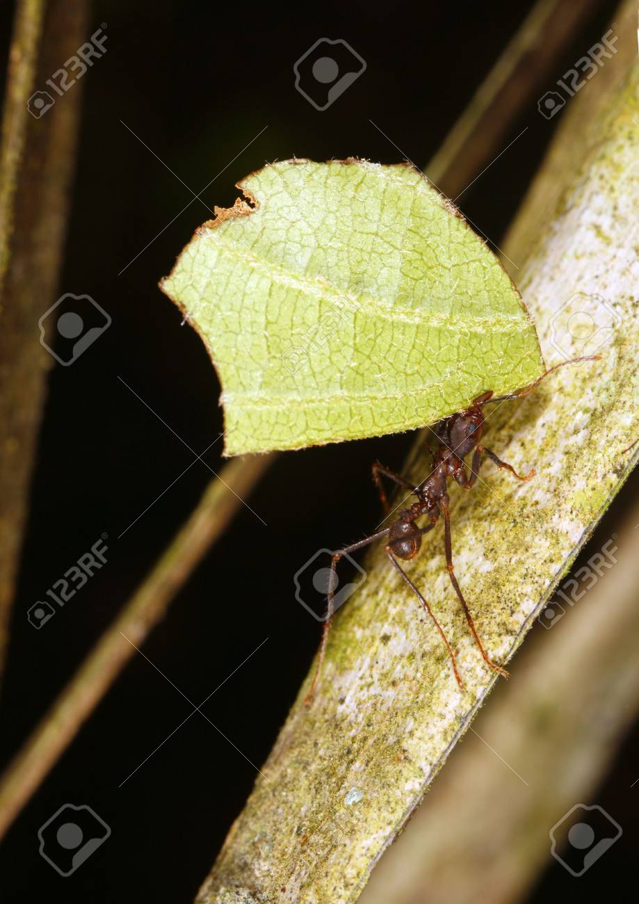 Leaf Cutter Ant Stock Photo - 4840861