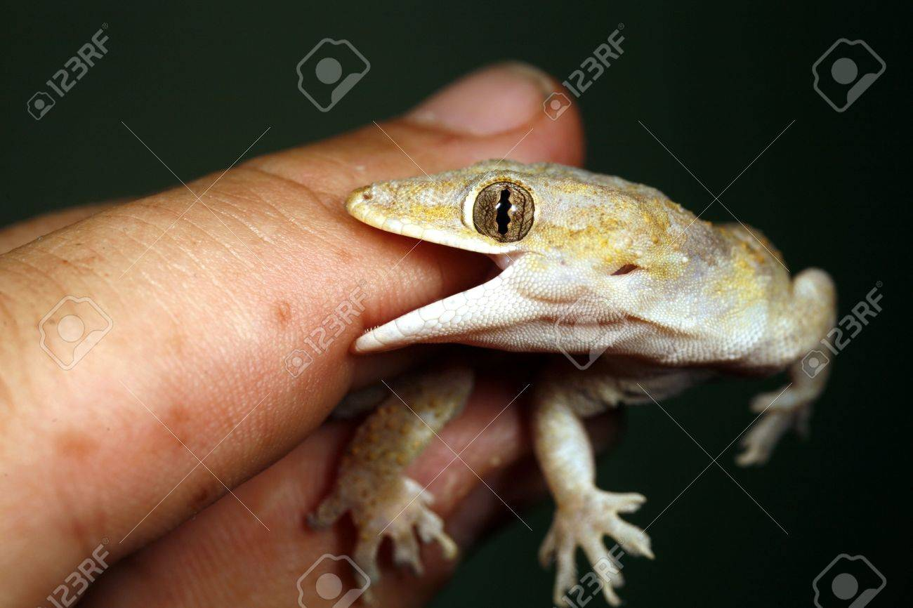 tropical house gecko biting a finger stock photo, picture and