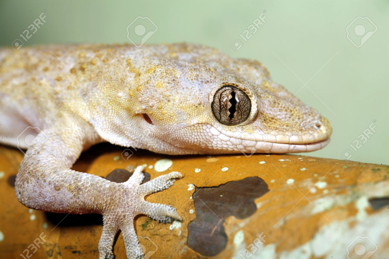 tropical house gecko (hemidactylus mabouia) stock photo, picture