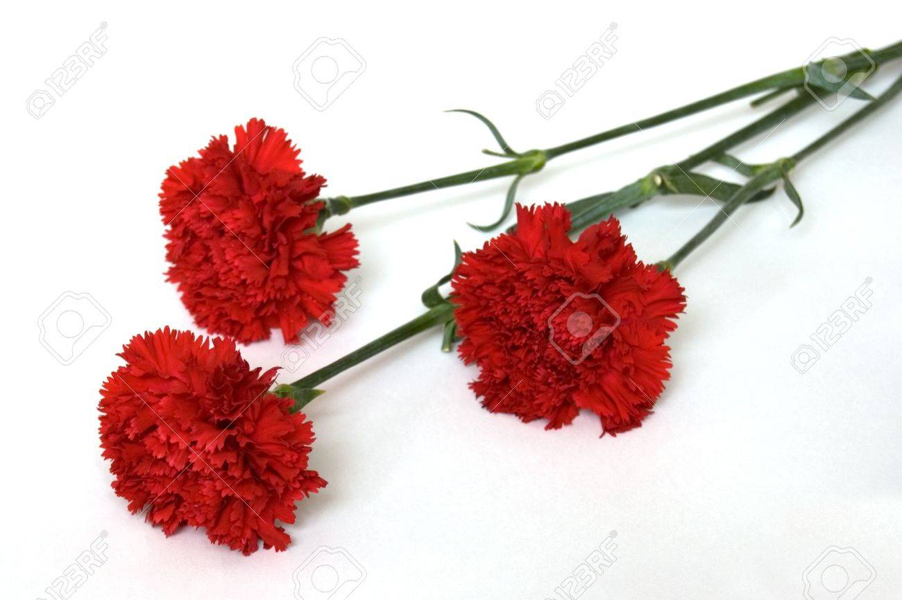 Three Red Carnations, Isolated on White Stock Photo - 3250549