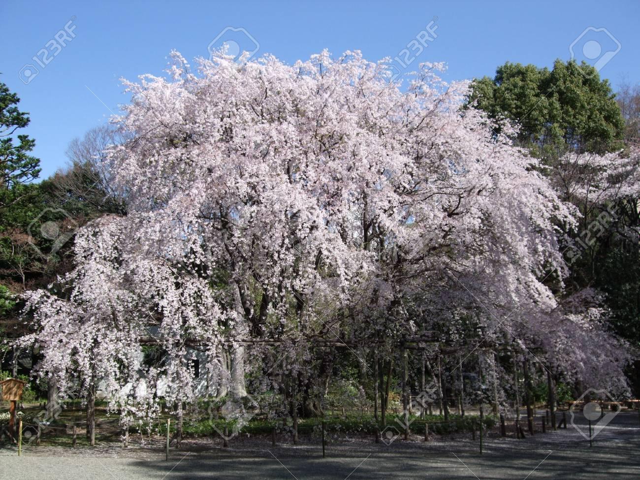 Weeping Cherry Tree Shidare Zakura In Rikugien Gardens Tokyo