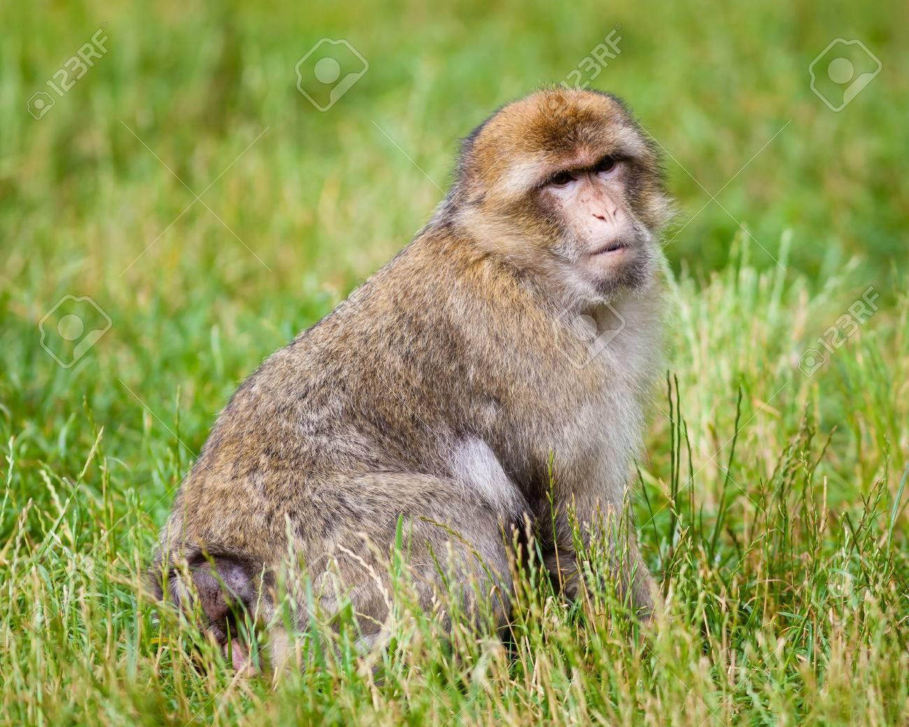 バーバリ Macaques、マカク属の...