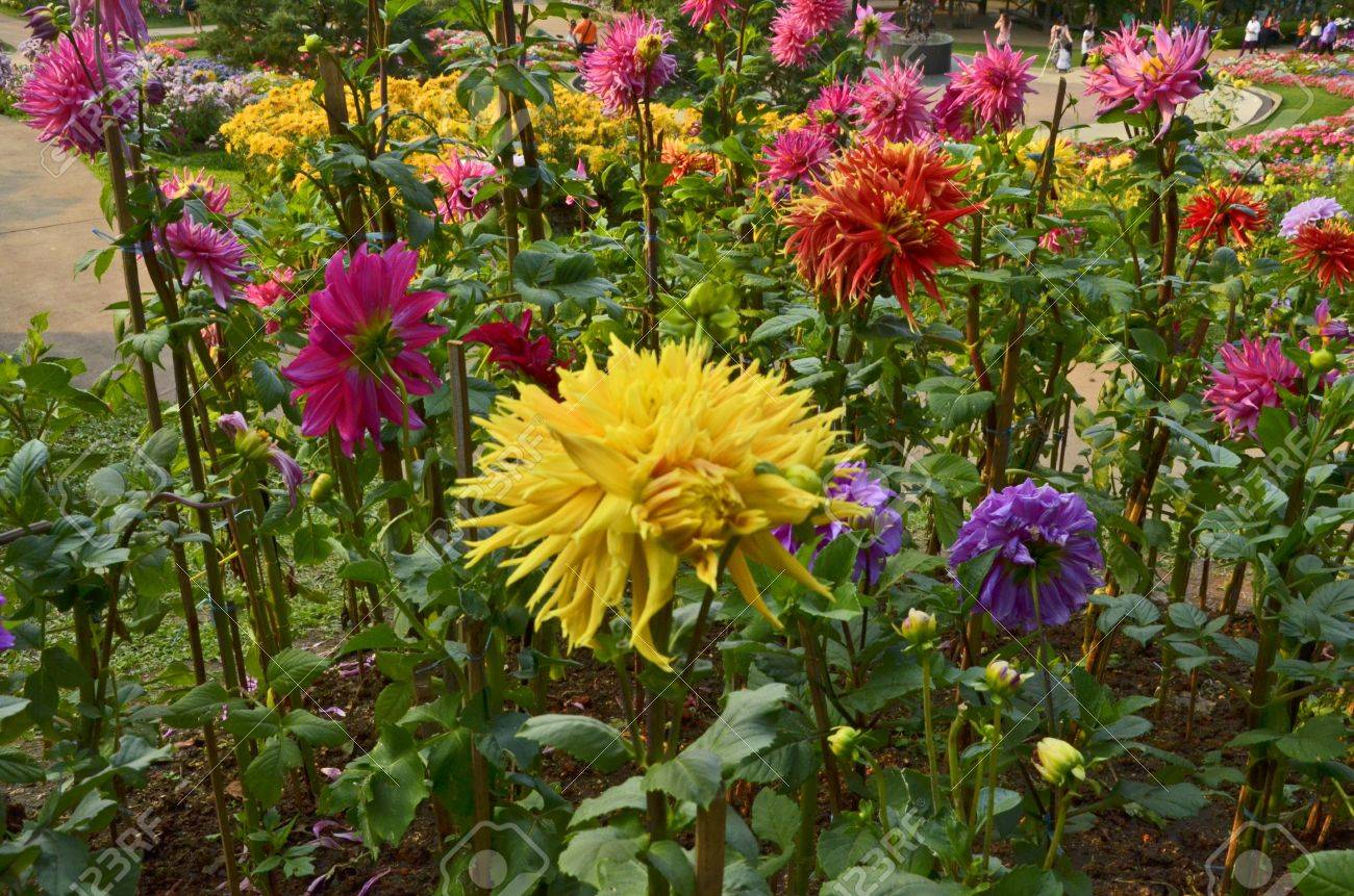 Beautiful Color Dahlia Flower Garden Stock Photo Picture And Royalty Free Image Image 18349667