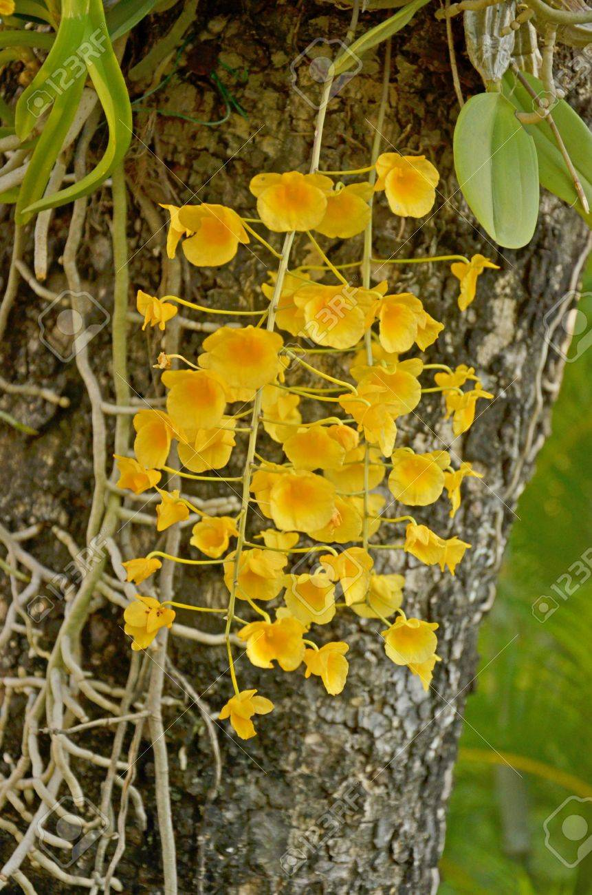 Yellow Honey Orchid Flowers With Air Roots Stock Photo Picture And