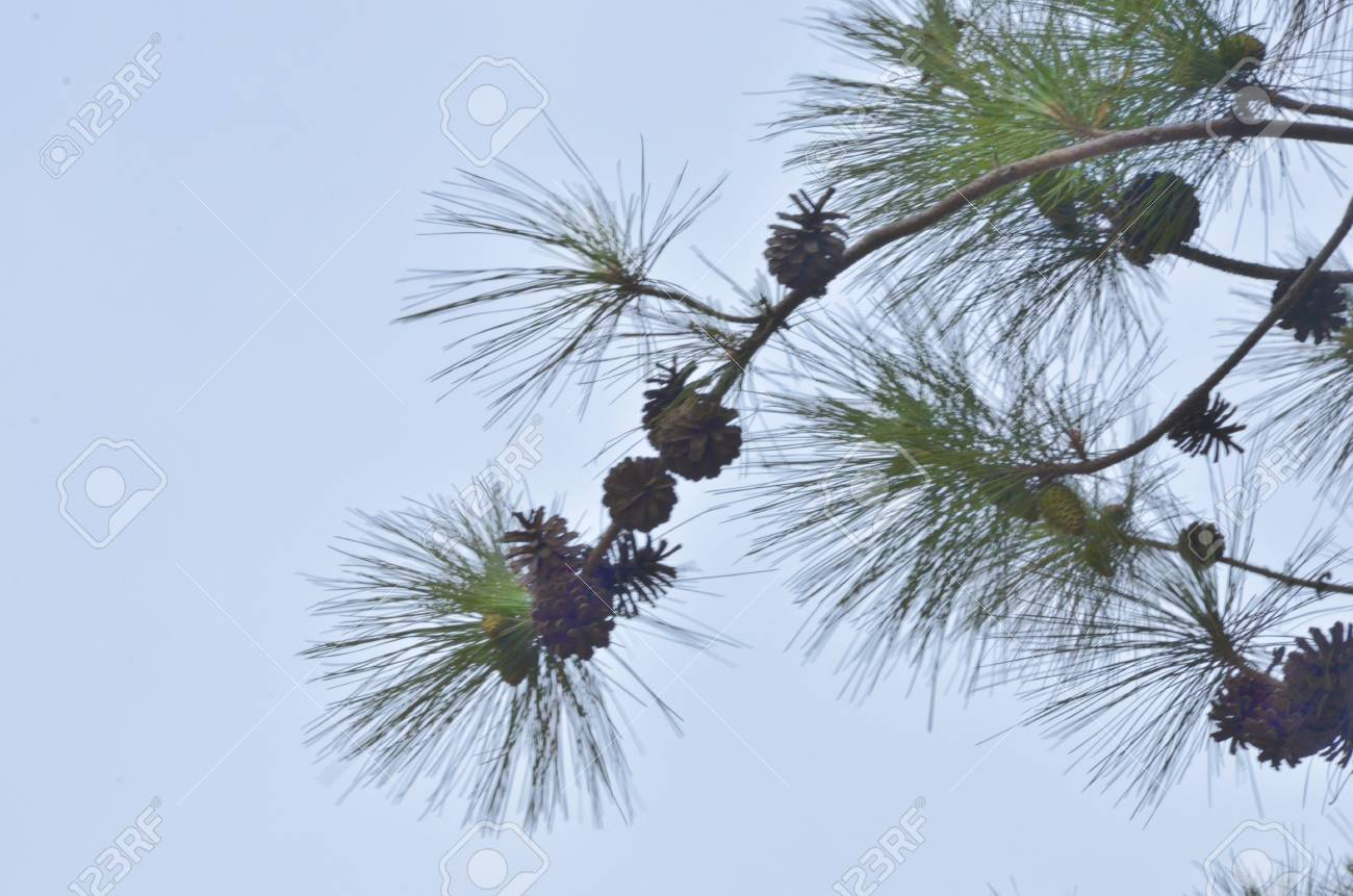 Green three leaves pine with fruits Stock Photo - 19139389