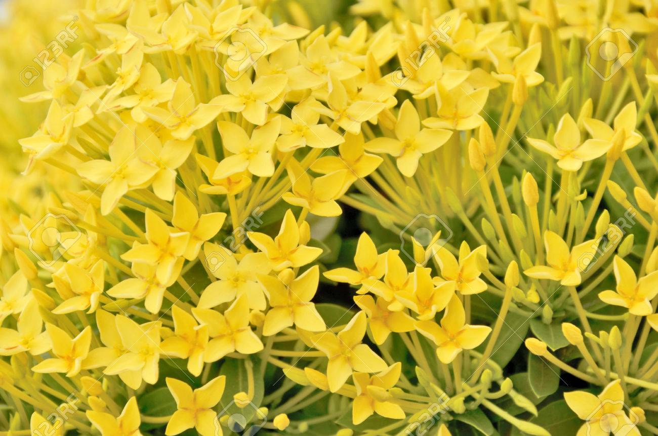 Little Yellow Flowers Of Rubiaceae Tree Stock Photo Picture And