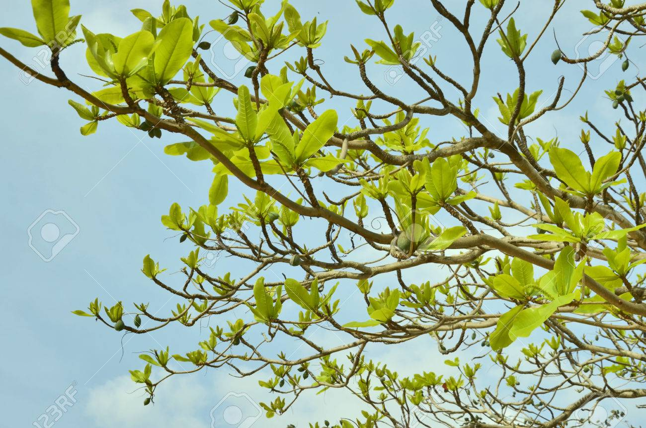 New Green Leaves Of Tree In Spring Stock Photo Picture And Royalty Free Image Image 24037256