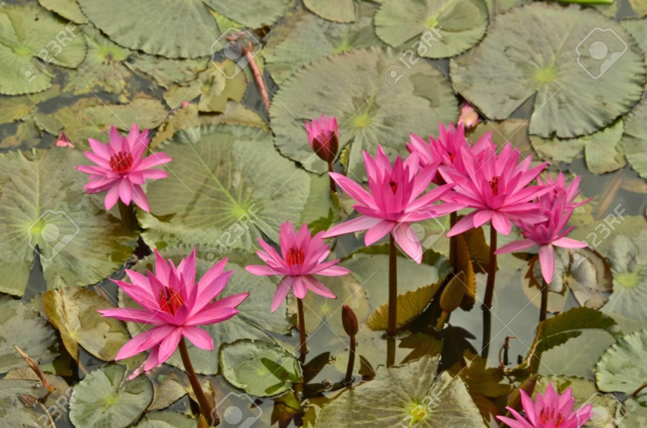 Pink lotus flowers with leaves stock photo picture and royalty free pink lotus flowers with leaves stock photo 24805797 mightylinksfo
