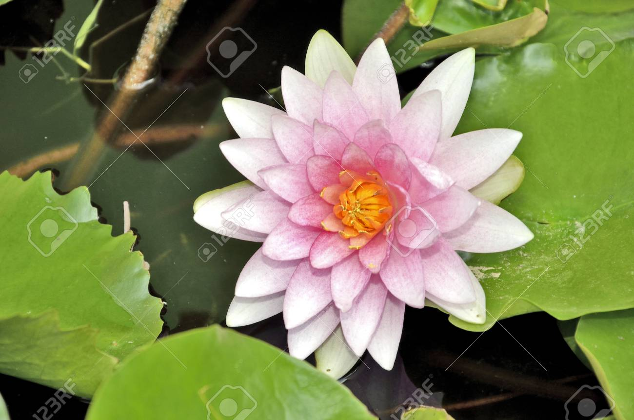 Pink Water Lily Flower With Leaves Stock Photo Picture And Royalty