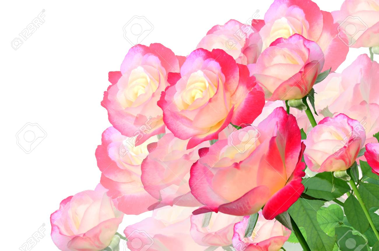 beautiful lovely roses on white background stock photo, picture and