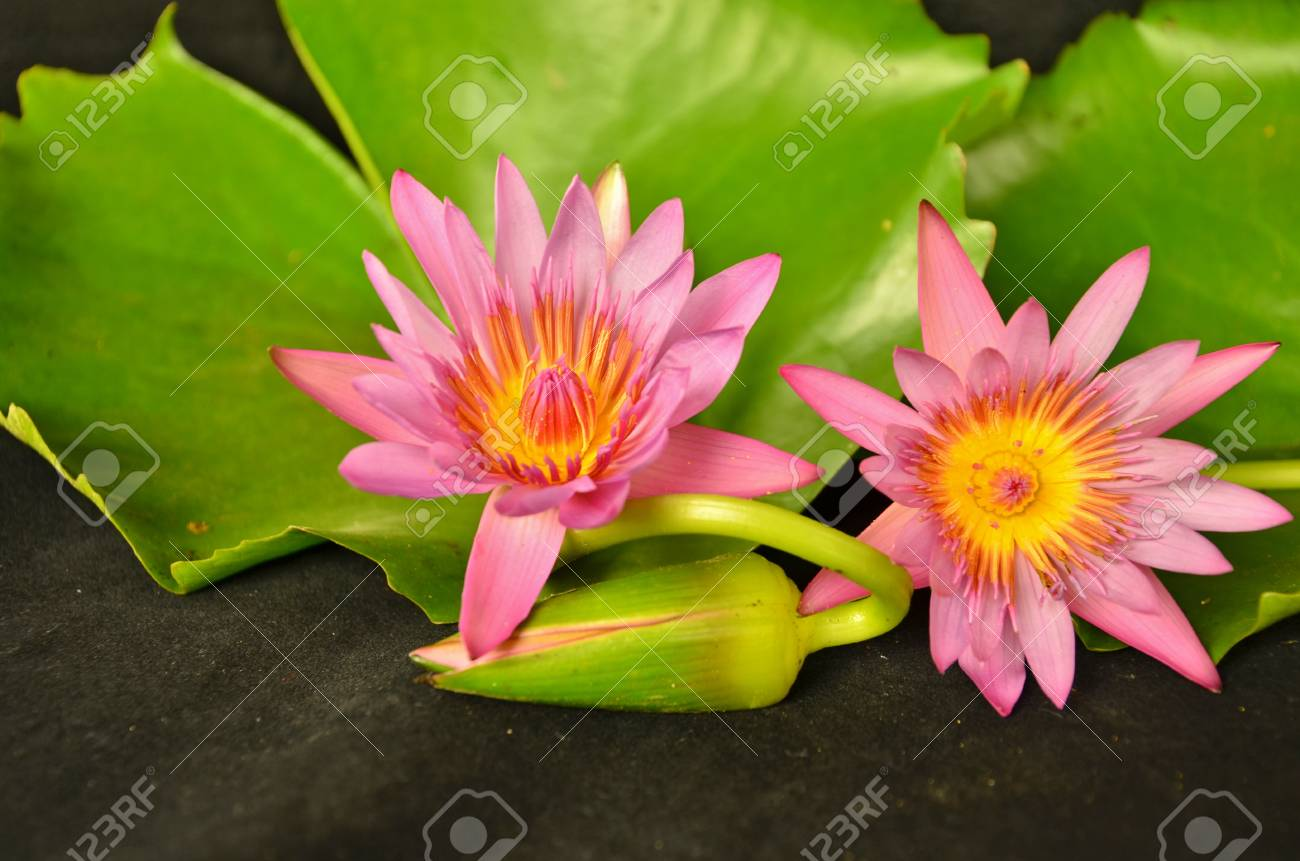 Beautiful couple water lily flowers stock photo picture and royalty beautiful couple water lily flowers stock photo 53469264 izmirmasajfo