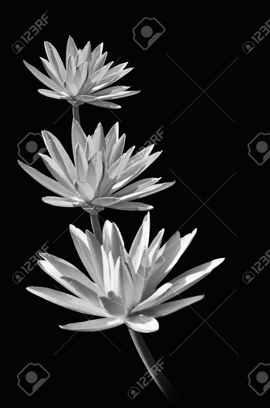 Three Water Lily Flowers On Black Background Stock Photo Picture