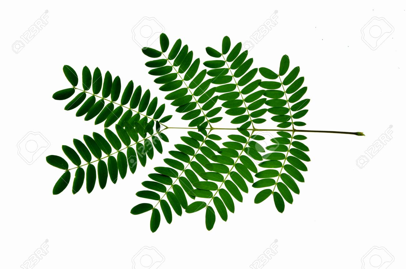 Details Leaves Of Acacia Tree On White Background Stock Photo