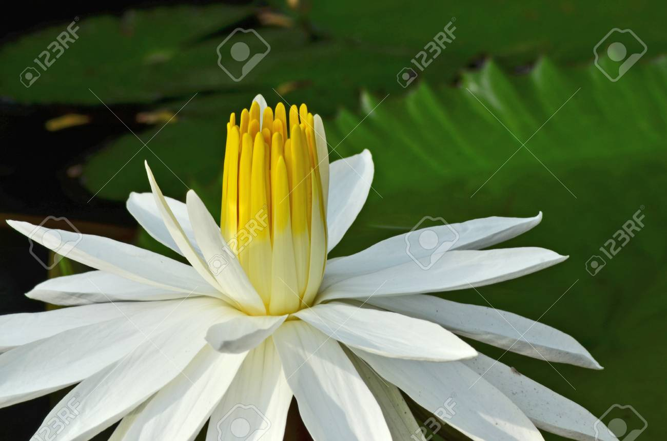 Beautiful Yellow Pollens Of White Water Lily Flower Royalty Vrije