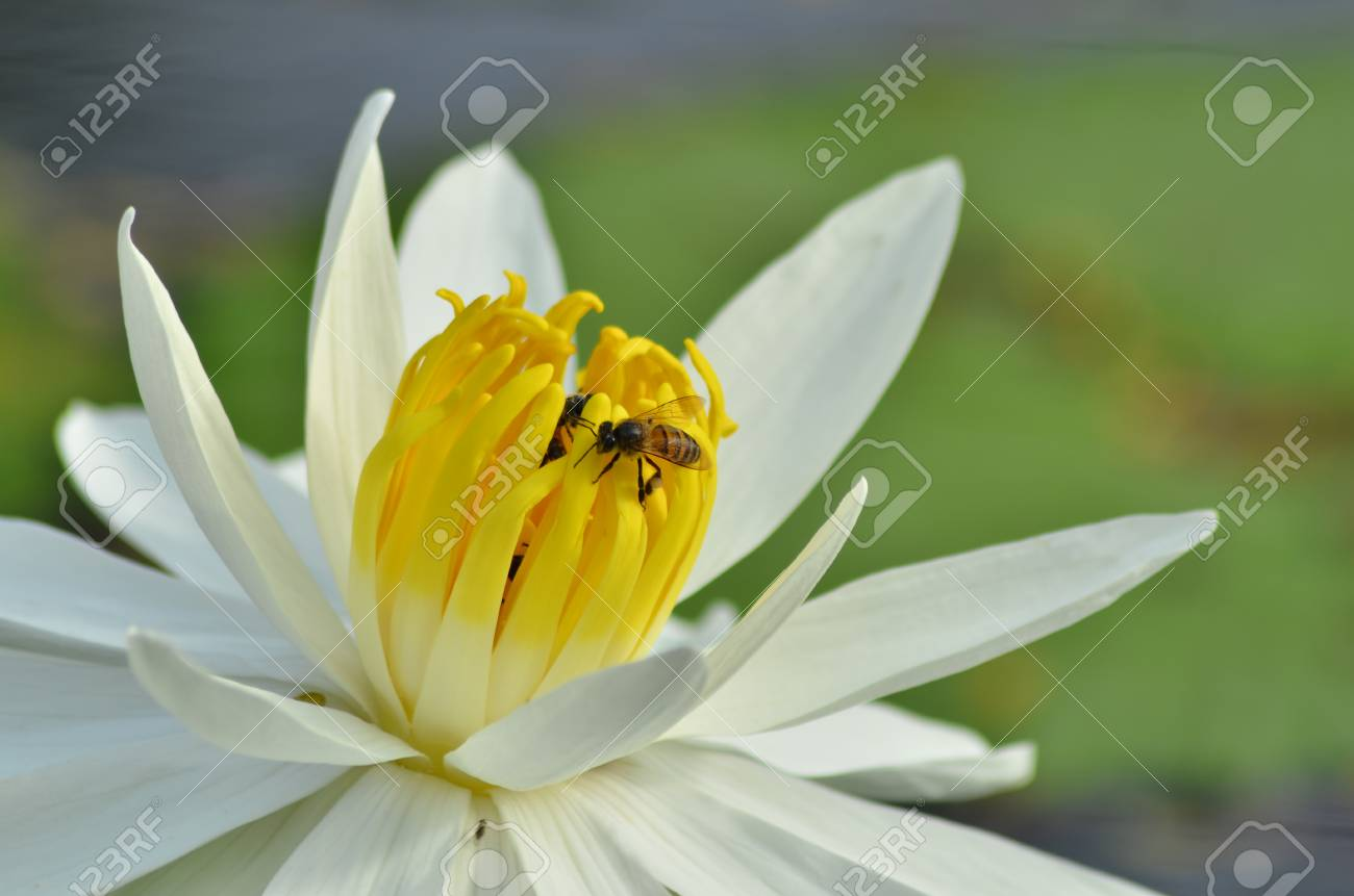 Yellow Pollens Of White Water Lily Flower With Bees Royalty Vrije