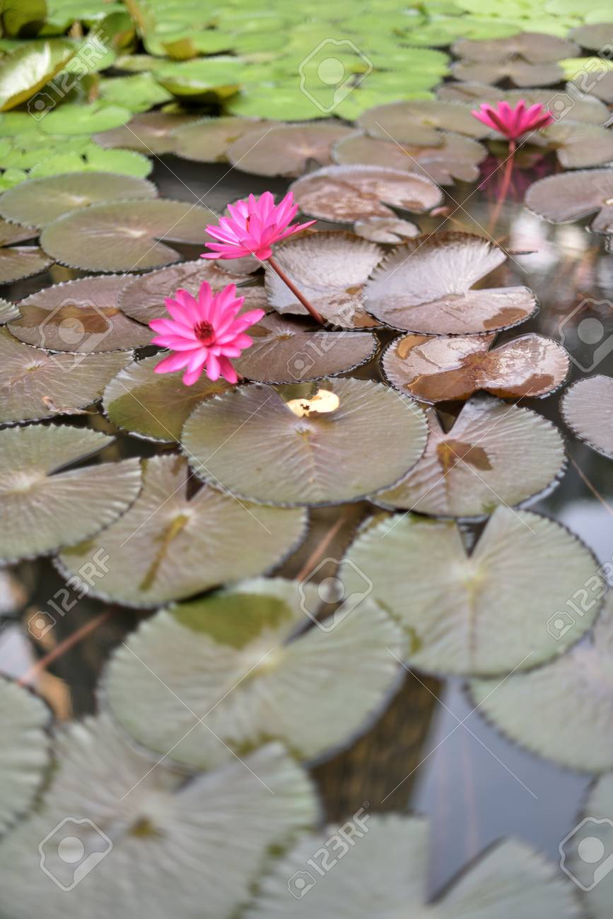 Blooming Lotus Flowers Floating On The Pond With A Reflection