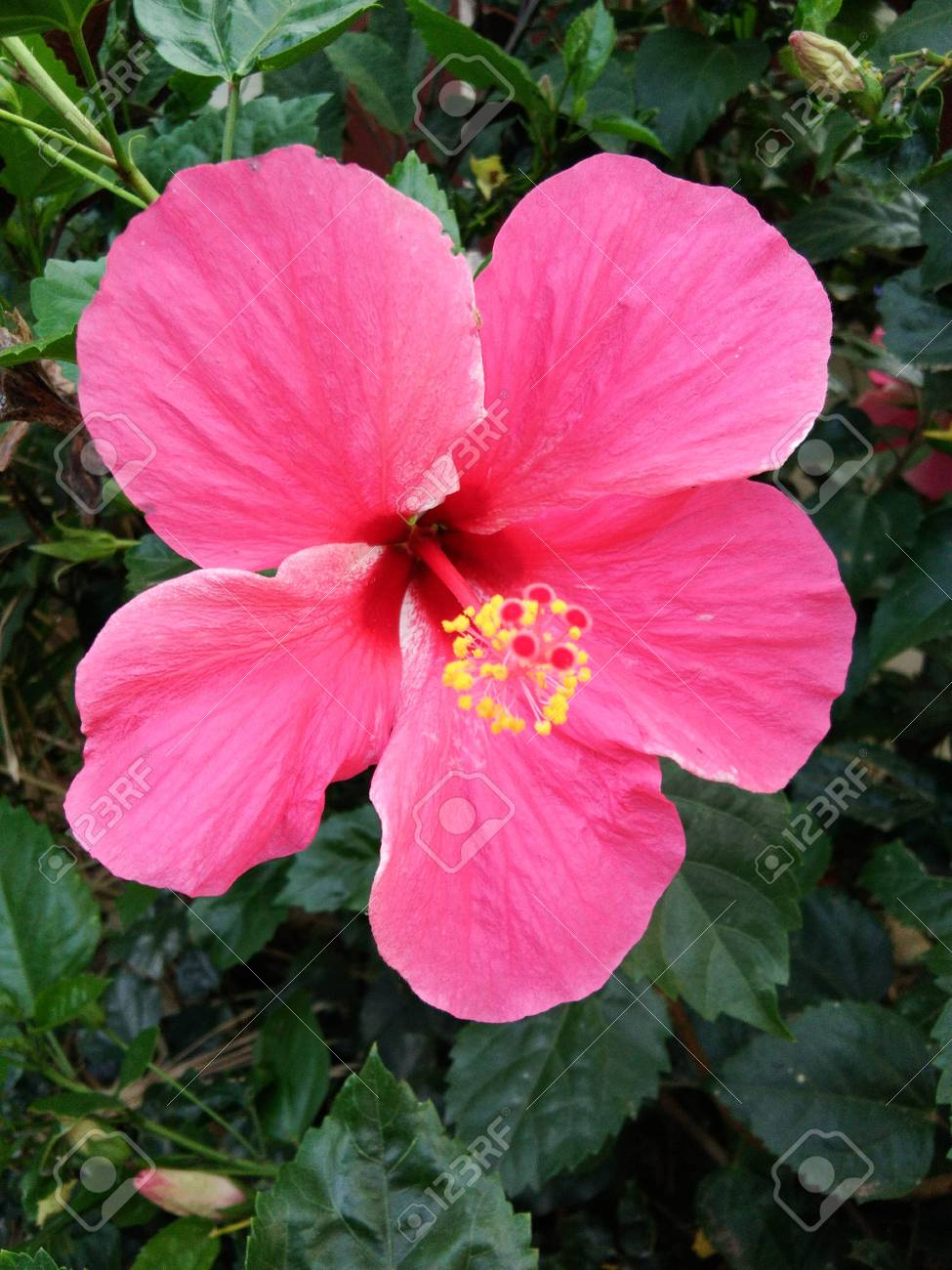 Pink Hibiscus Flower Stock Photo Picture And Royalty Free Image