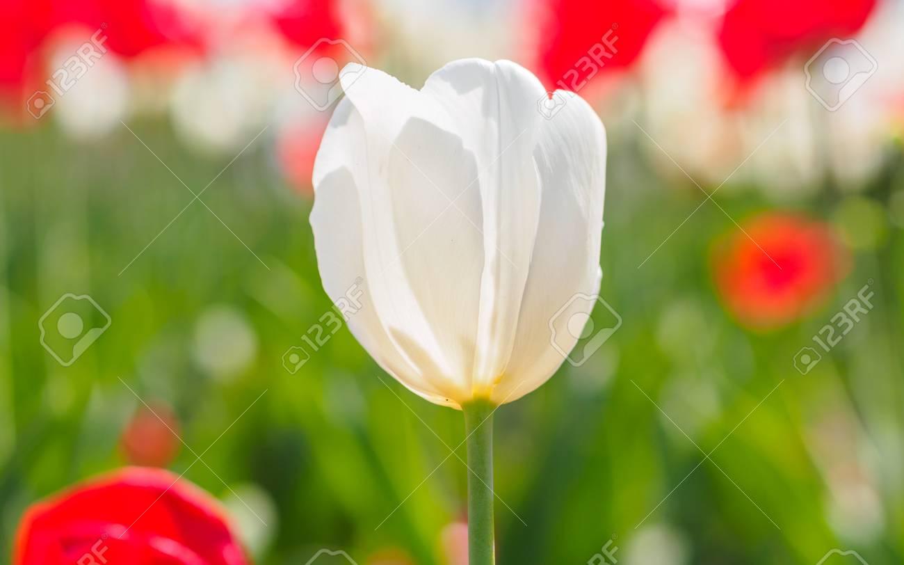 Serie De Fleurs De Printemps Seule Tulipe Blanche Parmi Tulipes
