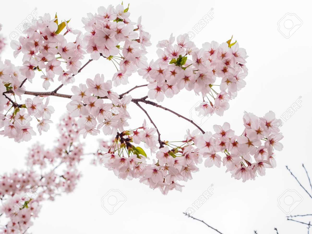 Spring flowers series beautiful cherry blossom pink sakura spring flowers series beautiful cherry blossom pink sakura flowers isloated in white background stock dhlflorist Images