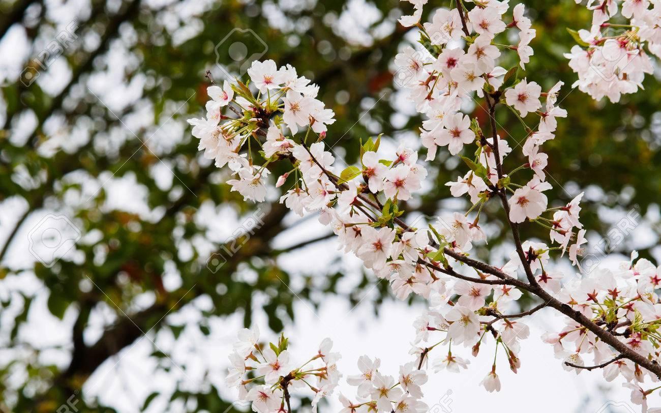 Spring Flowers Series Beautiful Cherry Blossom Pink Sakura