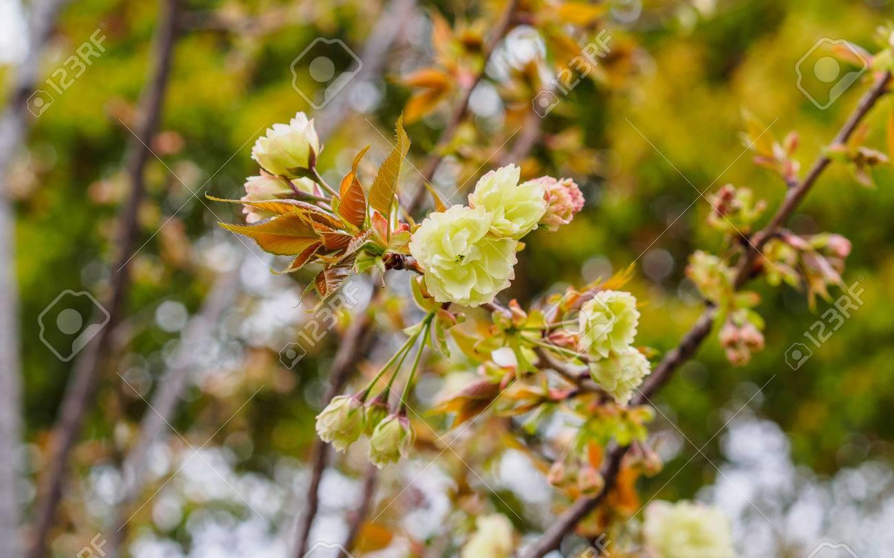 Spring Flowers Series Beautiful Cherry Blossom Green Sakura