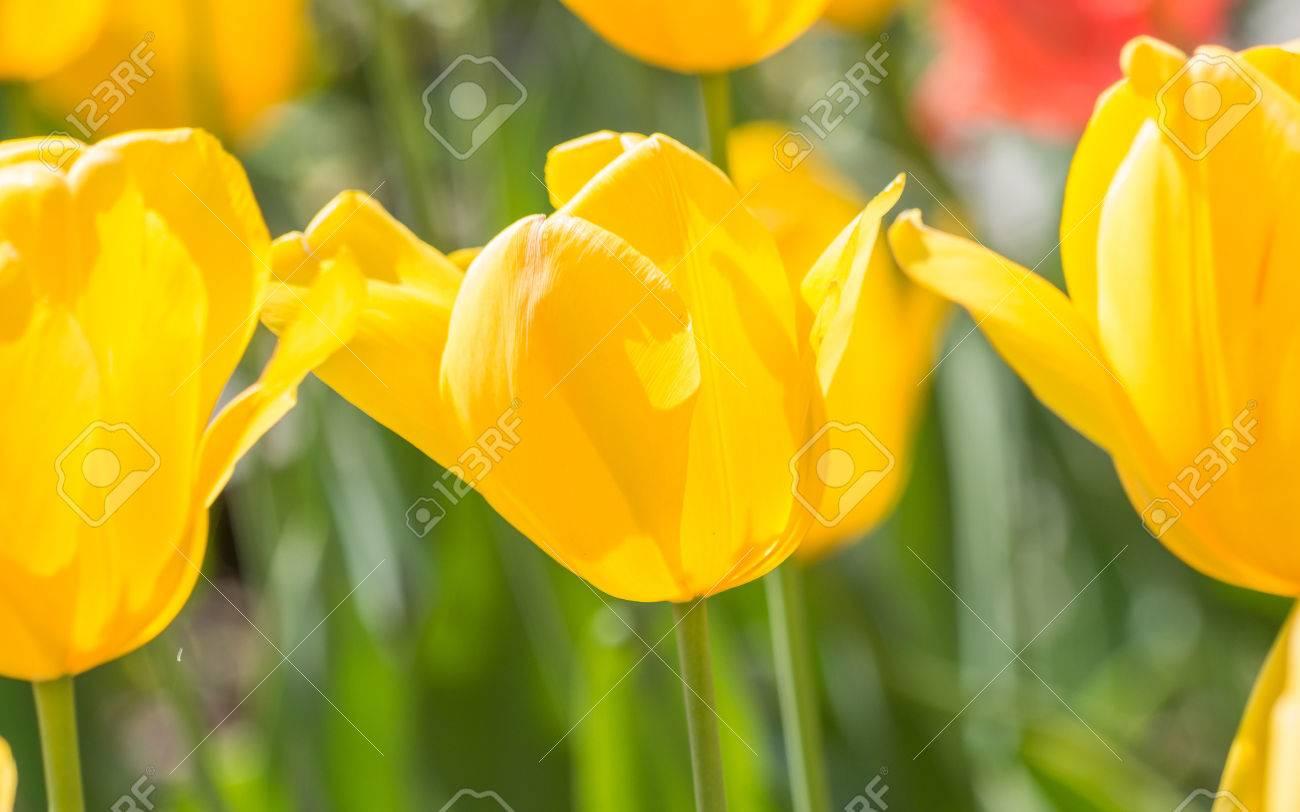 Serie Flores De Primavera Tulipanes Amarillos Contra El Sol Fuerte