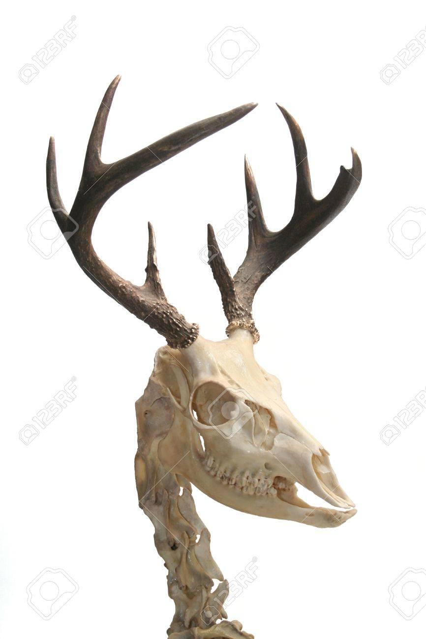 Whitetail Deer Skull Anatomy Bigking Keywords And Pictures