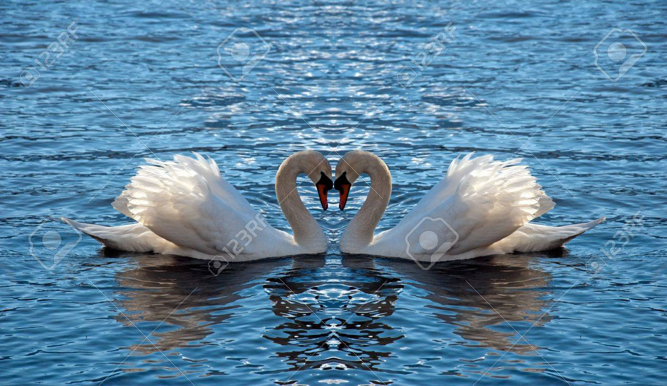 Two swan mirrored looks like a heart Stock Photo - 13579615
