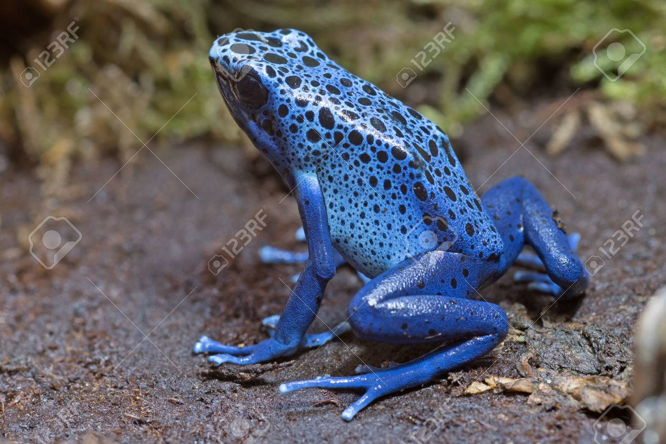 青い毒投げ矢のカエル (ヤドクガ...