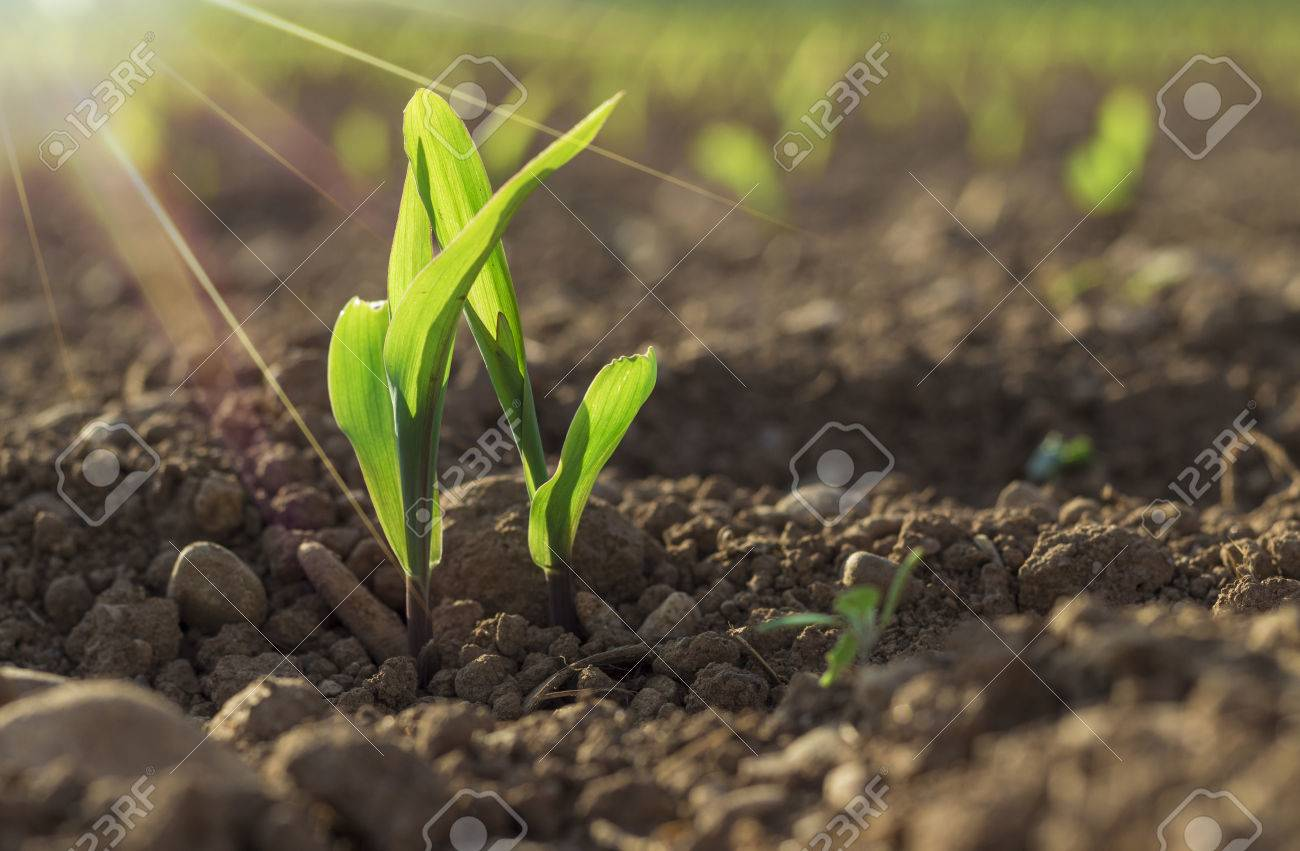 young wheat seedlings growing in a soil stock photo picture and