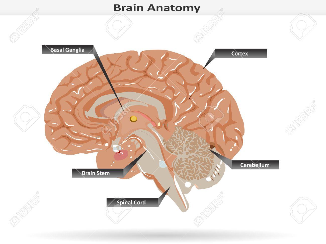 Anatomía Del Cerebro Con Ganglios Basales, Corteza, Tronco Cerebral ...