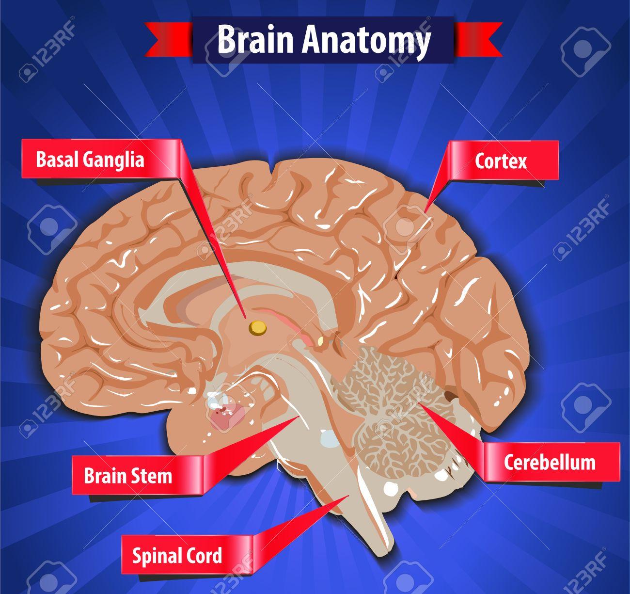 Brain Function, Human Brain Anatomy With Basal Ganglia, Cortex ...