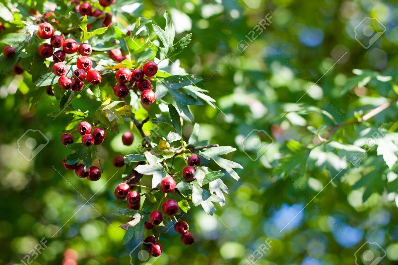 Aub/épine arbre graines fruits aigre 10 graines Crataegus Laevigata graines de baies pour la maison jardin jardin ext/érieur plantation ferme