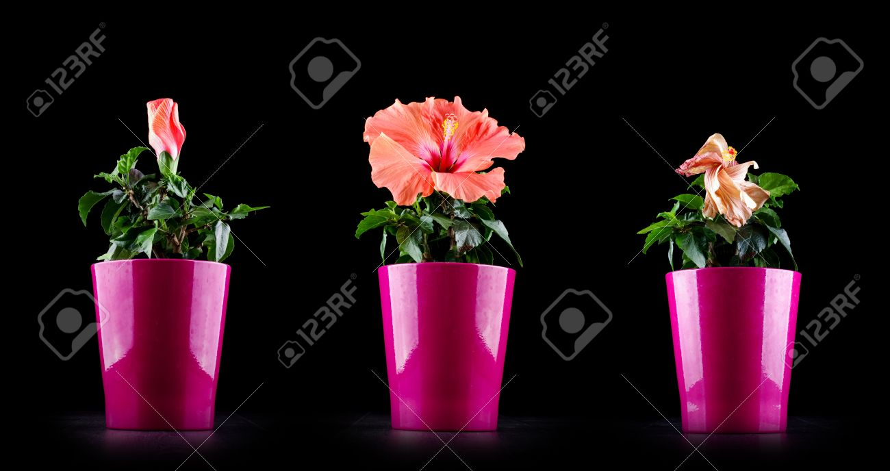 Flower birth and death stock photos royalty free flower birth and aging concept from hibiscus flower life cycle stock photo izmirmasajfo