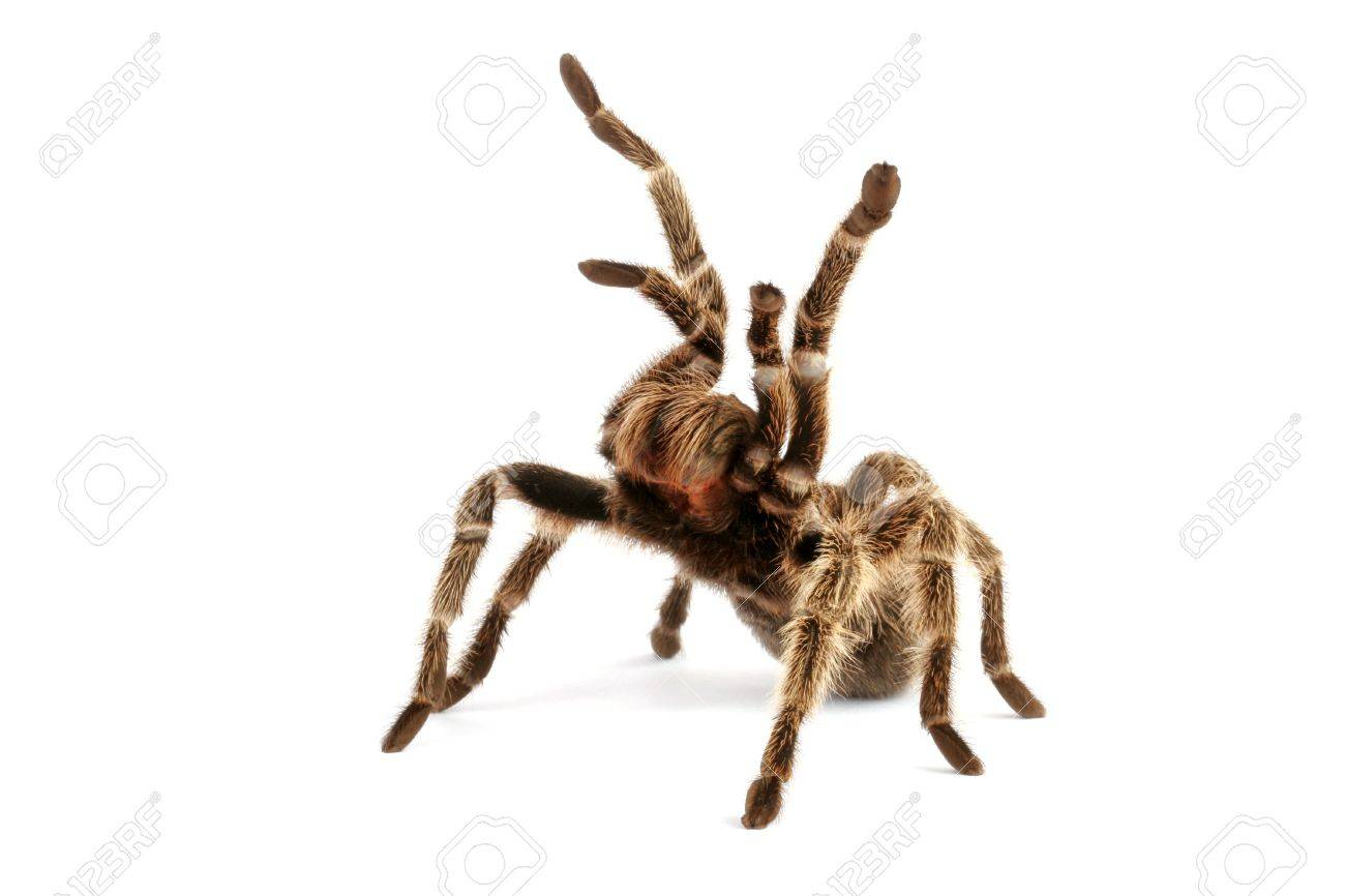 Chilean Rose Hair Tarantula Stock Photo Picture And Royalty Free