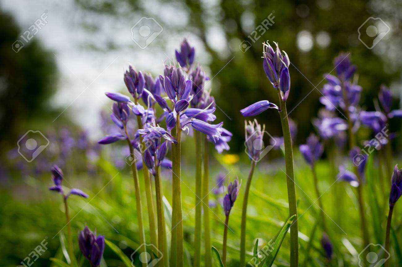The Purple Flower In Public Park Ireland Stock Photo Picture And