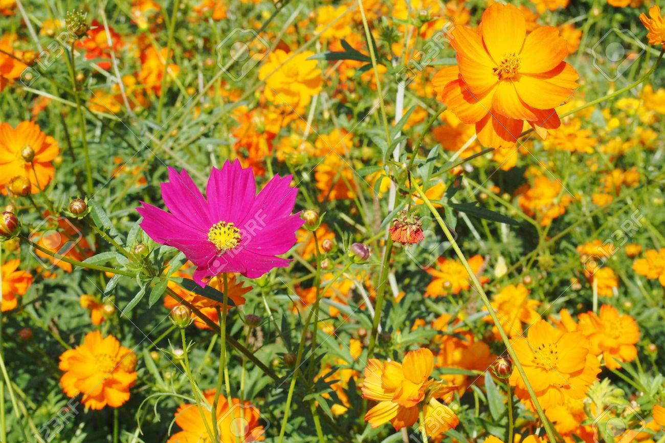 34639649-Pink-cosmos-in-the-marigold-field-Stock-Photo.jpg (1300×866)
