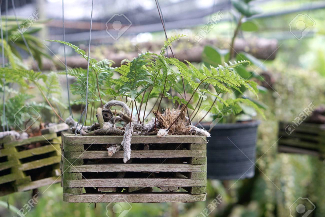 Delicieux Hanging Baby Fern With Hairy Roots In Timber Holder In The Nursery Garden  Stock Photo