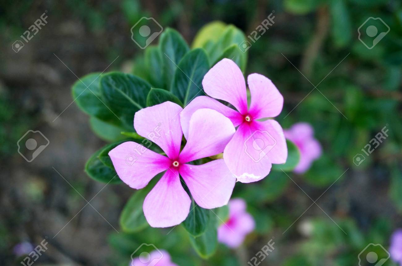 photo of purple vinca flowers catharanthus roseus and their