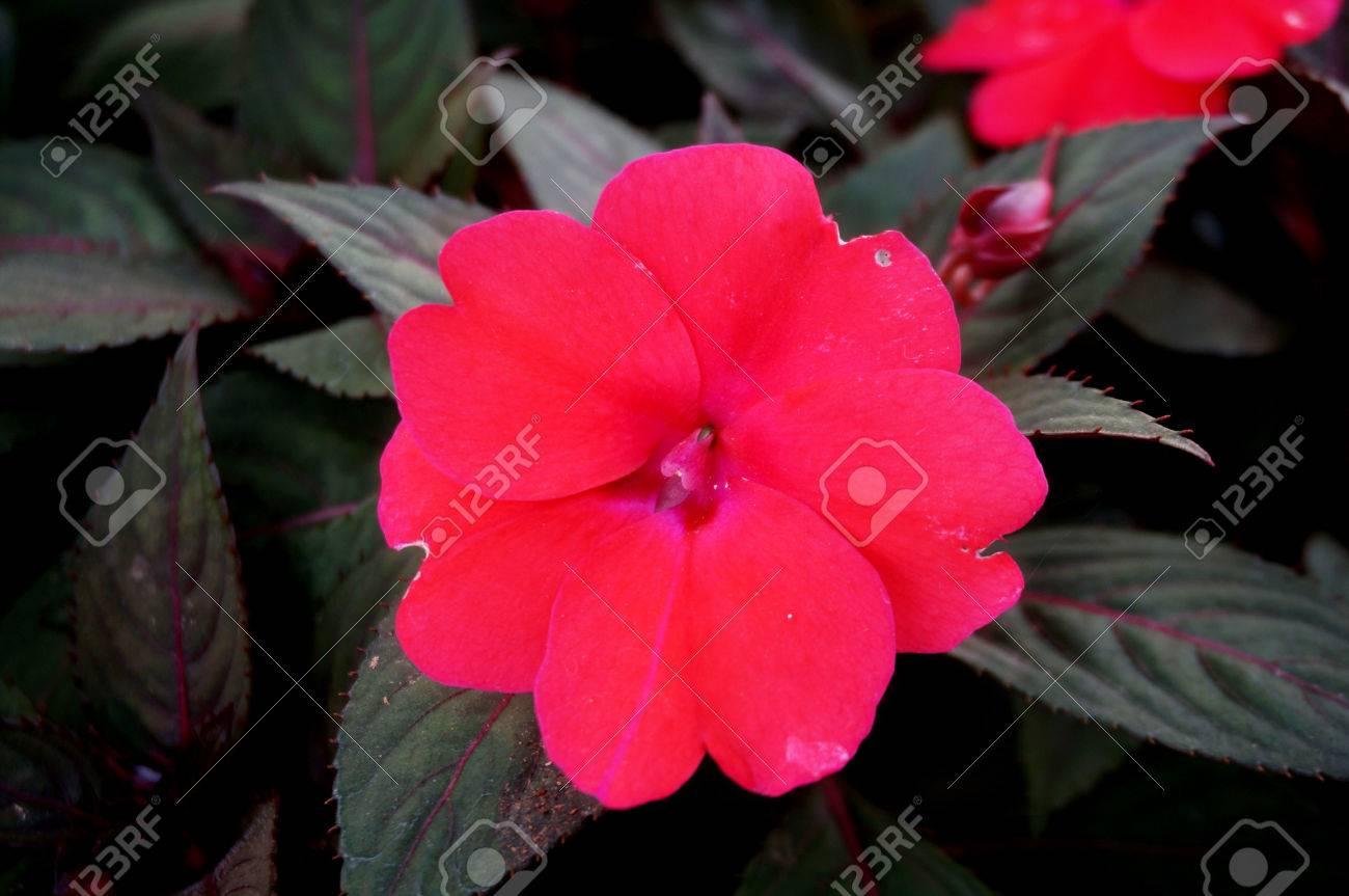 Background Of New Guinea Impatiens Flowers Impatiens Hawkeri