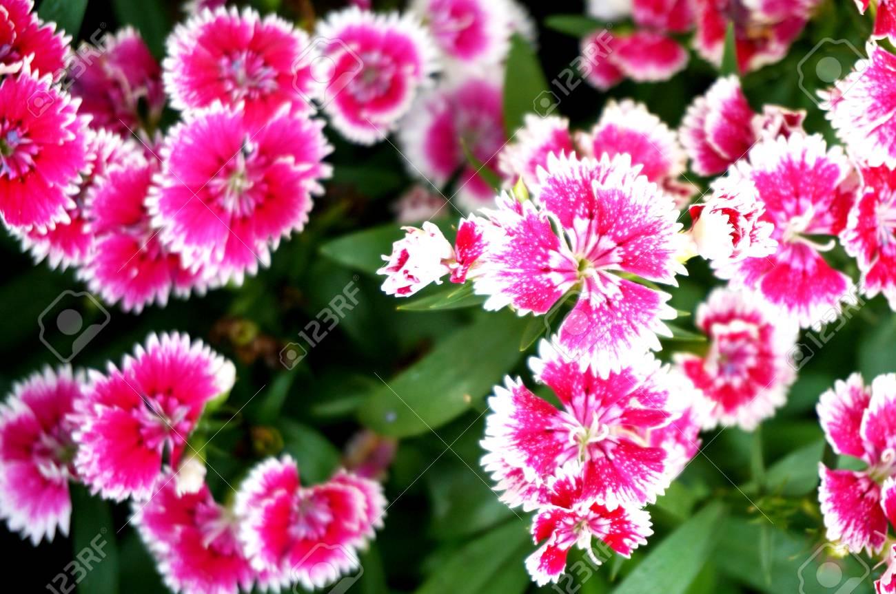 Диантус цветок фото