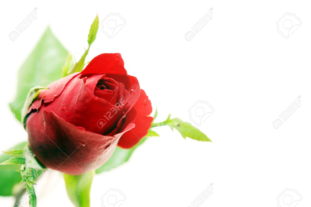 Red rose and white background Stock Photo - 11880373