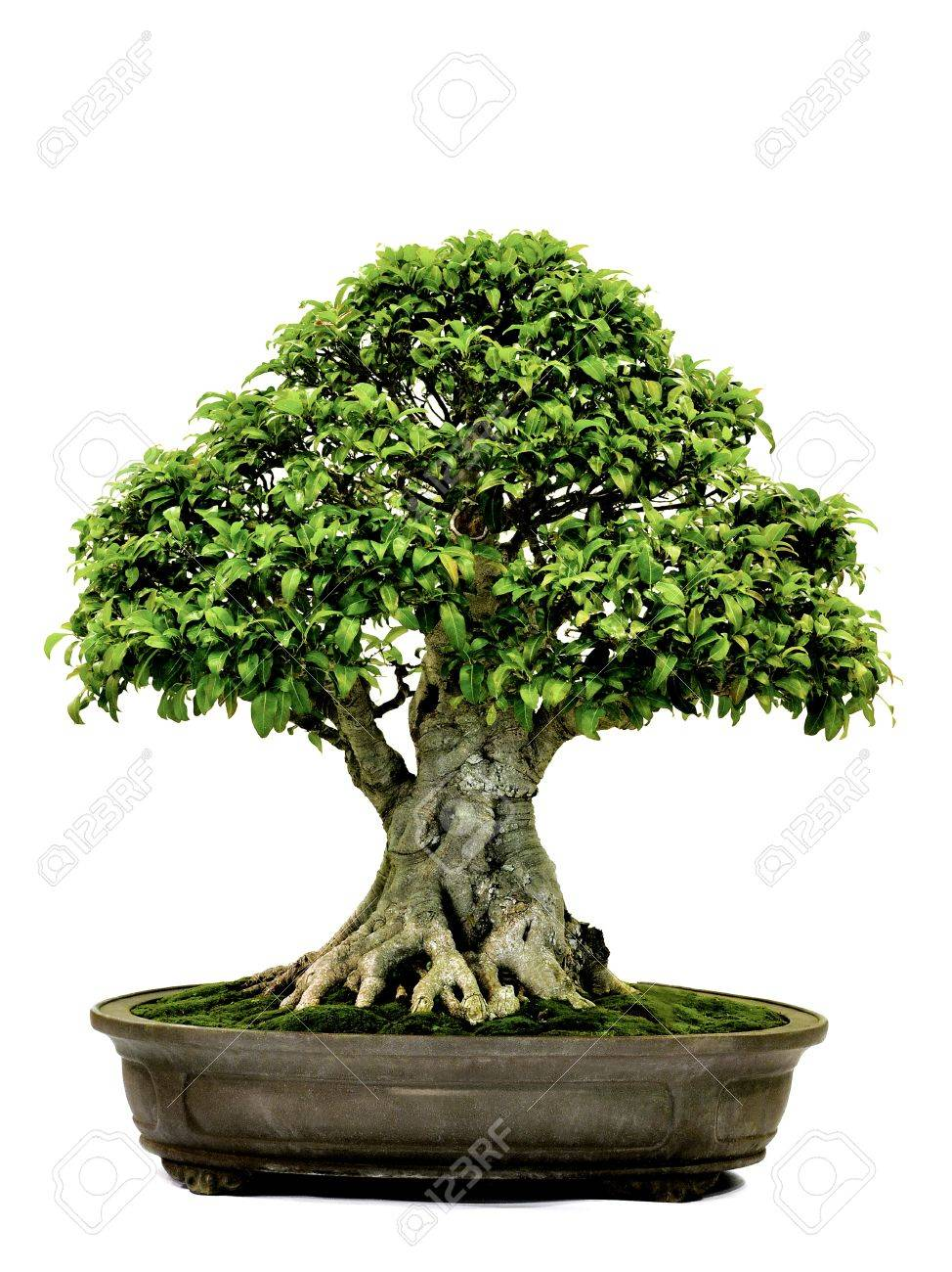 Bonsai in potpotted bonsai treesmall tree in pot isolated on white bonsai in potpotted bonsai treesmall tree in pot isolated on white background mightylinksfo