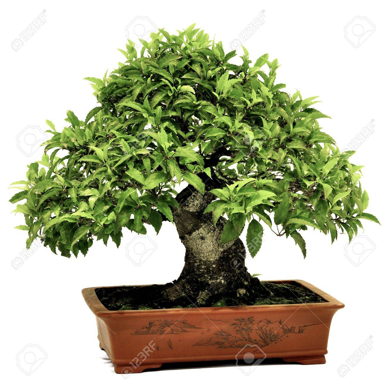 Bonsai in potpotted bonsai treesmall tree in pot isolated on bonsai in potpotted bonsai treesmall tree in pot isolated on white background mightylinksfo